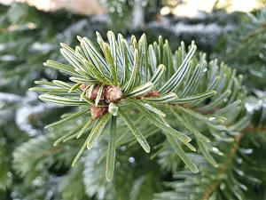 Die Nordmanntanne ist der beliebteste Weihnachtsbaum der Deutschen.